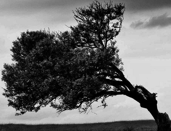a-violet-pine